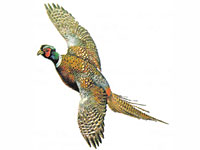 Guinea fowl game birds for sale